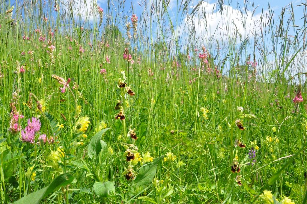 Orchids-rich Mesobromion meadows
