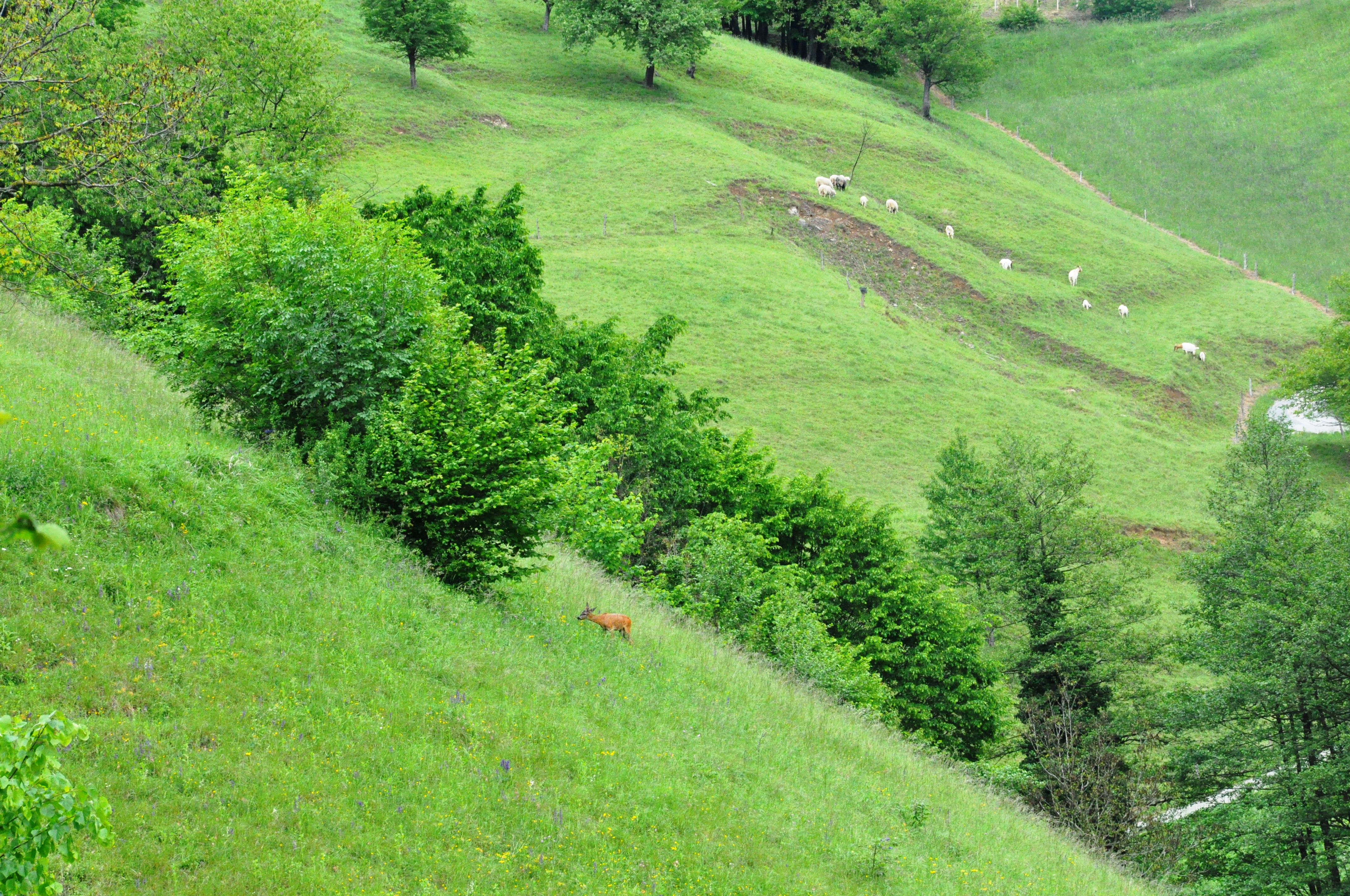 Sheep grazing on steep slopes in Haloze