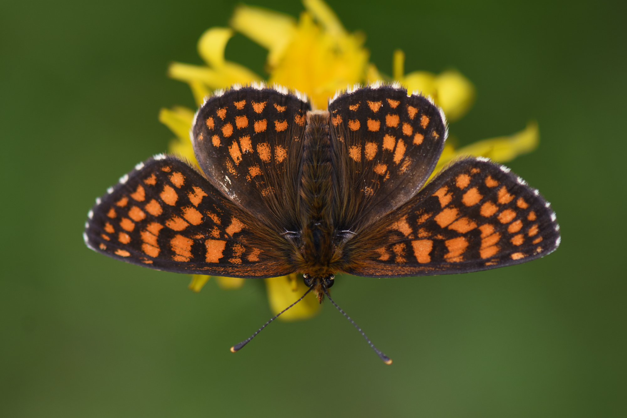 Melitaea athalia, Switzerland