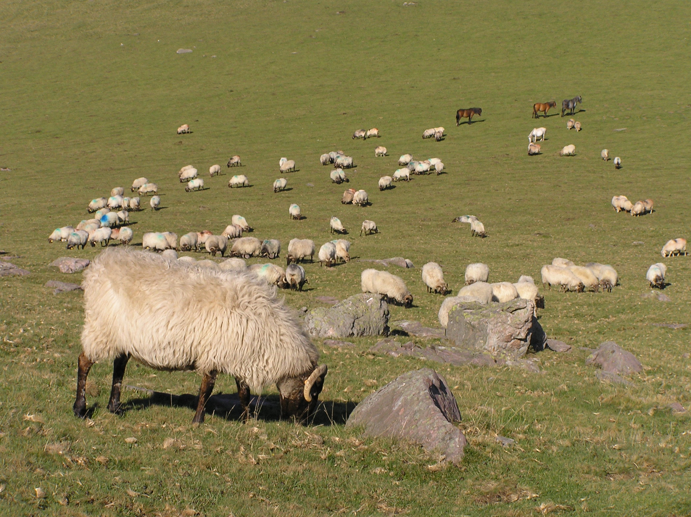 Sheep heard grazing on Violion caninae